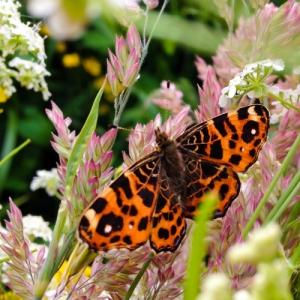 mata wegetacyjna przyciągająca motyle