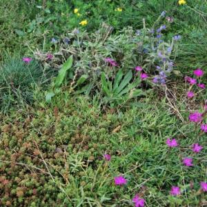 mata wegetacyjna rozchodnikowo – trawiasto – ziołowa